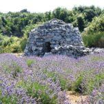 Lavender fields forever walk